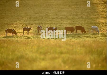 Cows graze as the sun rises over the Wiltshire village of Edington. - Stock Photo