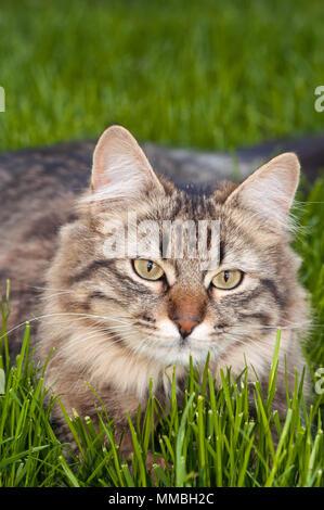 Tabby cat lying on grass - Stock Photo