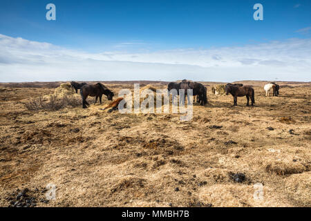 Iceland horses on the meadow - Stock Photo