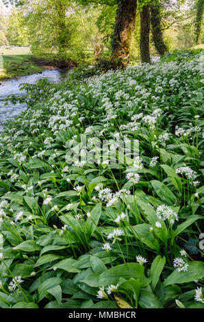 Wild garlic growing beside the River Manifold, Peak District National Park, Staffordshire - Stock Photo