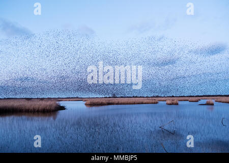A murmuration of starlings, a spectacular aerobatic display of a large number of birds in flight at dusk over the countryside. - Stock Photo