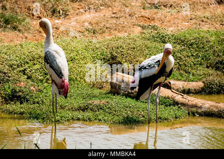 'Awesome close view of painted storks birds standing near small pond &  itching feather at rest time.' - Stock Photo