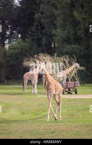 Giraffes are running outside on the green meadow - Stock Photo