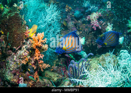 Blue-ringed angelfish [Pomacanthus annularis] pair swimming over coral reef with black coral.  West Papua, Indonesia. - Stock Photo