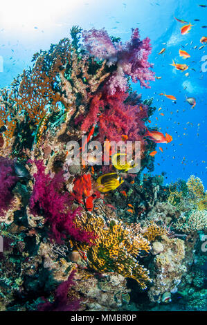 Coral reef scenery with Red Sea raccoon butterflyfish [Chaetodon fasciatus], Lyretail anthias or Goldies [Pseudanthias squamipinnis] and soft corals.  - Stock Photo