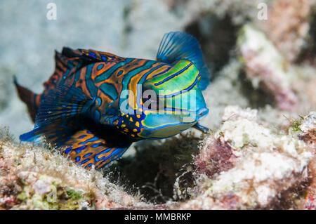 Mandarinfish [Sychiropus splendidus].  Lembeh Strait, North Sulawesi, Indonesia. - Stock Photo