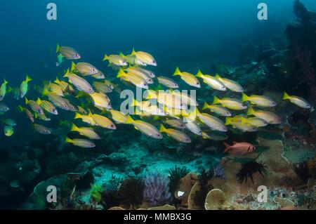 Blueline snappers (Lutjanus kasmira) and Bigeye snappers (Lutjanus lutjanus) school over coral reef.  RInca, Komodo National Park, Indonesia.  (Digita - Stock Photo