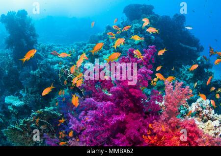 Soft corals with Lyretail anthias.  Egypt, Red Sea. - Stock Photo
