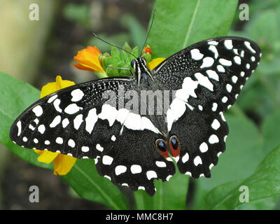 Citrus Swallow-Tail Butterfly , aka Christmas Butterfly, Papilio demodocus,  wings spread, perched. - Stock Photo