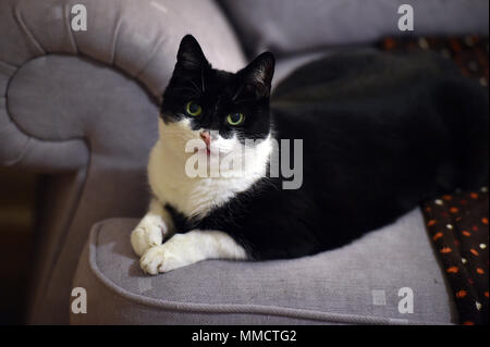 Black and White tuxedo cat sits on a sofa in a family home in Wiltshire - Stock Photo