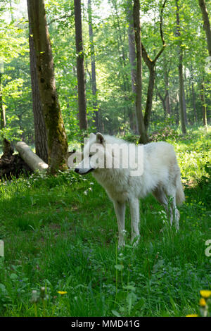 Arctic wolf in a forest - Stock Photo
