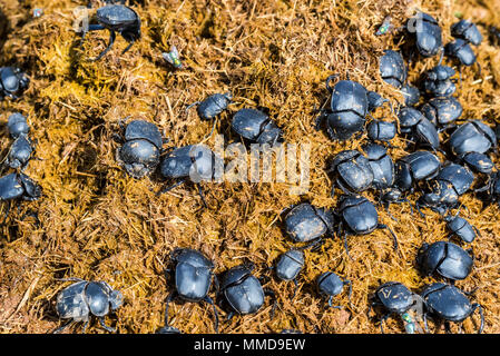 Group of Scarabaeus sacer of Sacred Scarab in dung - Stock Photo