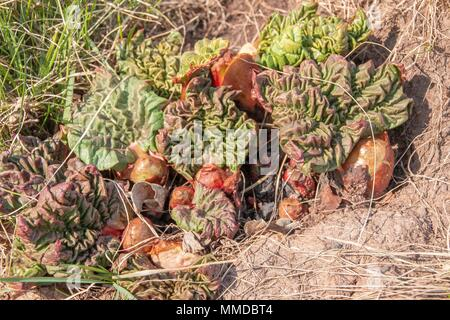 The first Leaves and Stalks of Rhubarb grow in the Spring after a long Winter - Stock Photo
