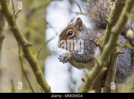 Eastern Grey Squirrel (Sciurus carolinensis) sitting in a tree eating a nut in Spring in West Sussex, England, UK. Eastern Gray Squirrel. - Stock Photo