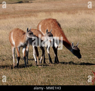 Guanacos, Lama guanicoe, female with two young in Patagonia. - Stock Photo