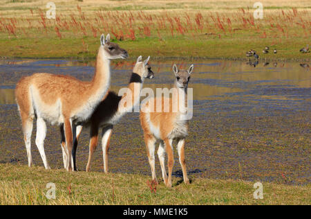 Guanacos, Lama guanicoe, female with two young in Torres del Paine National Park, Patagonia - Stock Photo