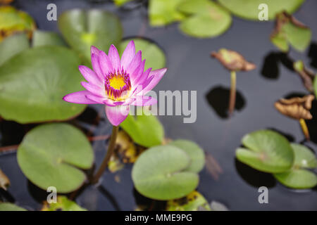 Beautiful colorful pink lotus with yellow pollen in the center is blooming with green leaves on the water in the pond, Always used for worship items f - Stock Photo
