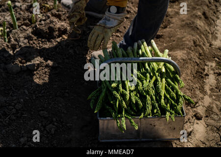 New season of green asparagus, field with growing green asparagus vegetable - Stock Photo