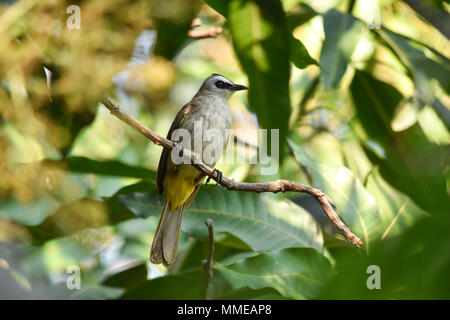 Yellow-vented Bulbul Pycnonotus goiavier perching on mango branch with green leaves background. - Stock Photo