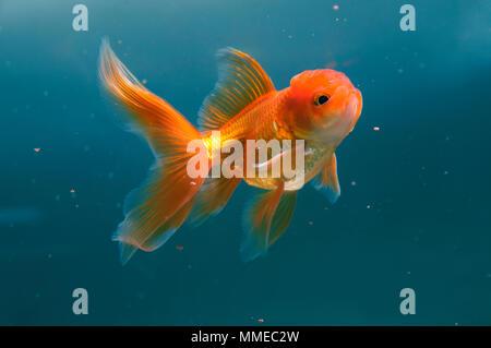 Goldfish feeding in aquarium - Stock Photo