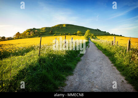 Rapeseed fields at Cley hill, Warminster, Wiltshire - Stock Photo