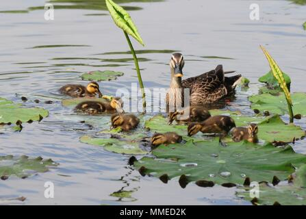 Hangzh, China. 11th May, 2018. Ducklings swimming after the mother duck at a lotus pond in Hangzhou, east China's Zhejiang Province. Credit: SIPA ASIA/Pacific Press/Alamy Live News - Stock Photo