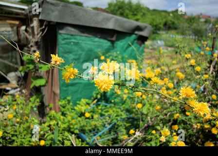Kerria Japonica, Bachelor's Button,yellow flowering shrub - Stock Photo