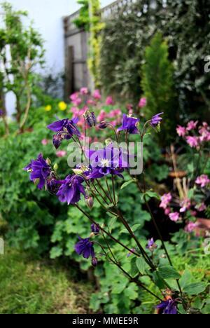 Purple aquilegia flowers in a garden - Stock Photo