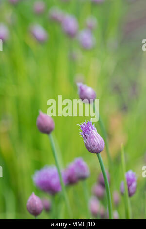 Allium schoenoprasum 'Biggy'. Chive 'Biggy' flowers in bud - Stock Photo