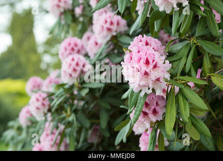 Rhododendron 'Prince camille de rohan' flowering in spring. UK.  Flowering Azalea - Stock Photo