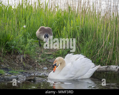Canada Goose defending territory from Swan, Teifi Marshes, Cardigan, Wales - Stock Photo
