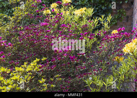 Azalea bushes planted in a corner of a garden in the shelter of a wall. - Stock Photo
