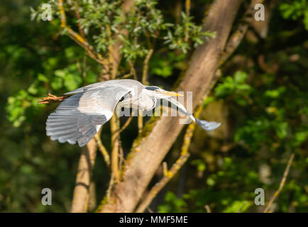 gray heron flying over a river with trees in the background - Stock Photo