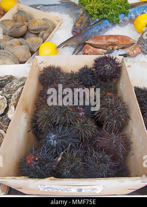 Fresh Sea urchins at a seafood restaurant at place Cours Saleya, Nice, Côte d'Azur, Alpes-Maritimes, South France, France, Europe - Stock Photo