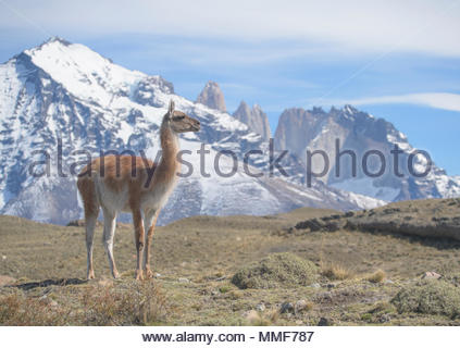 A Guanaco, Lama guanicoe, stands on a hillside in Torres del Paine National Park. - Stock Photo