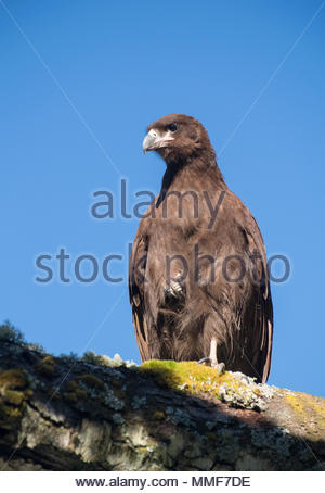 The Striated caracara, Phalcoboenus australis, perches on a tree branch. - Stock Photo