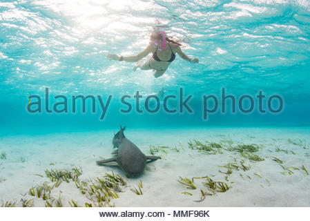 A snorkeler observes a nurse shark, Ginglymostoma cirratum, in shallow blue water. - Stock Photo