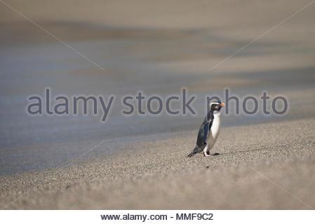 A Fiordland penguin, Eudyptes pachyrhynchus, walks along the beach. - Stock Photo