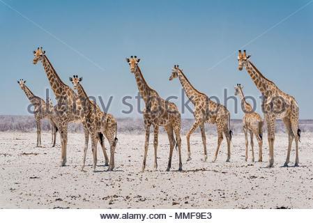 Angolan giraffes, Giraffa giraffa angolensis, stand near a waterhole. - Stock Photo