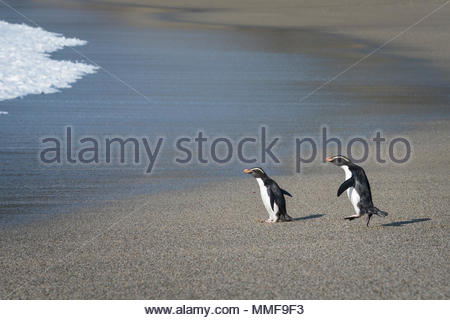 Two Fiordland penguins, Eudyptes pachyrhynchus, walk and hop on the beach towards the ocean. - Stock Photo