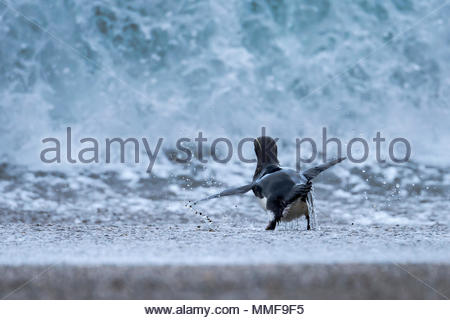 A Fiordland penguin, Eudyptes pachyrhynchus, makes an attempt to head out to sea through a swell. - Stock Photo