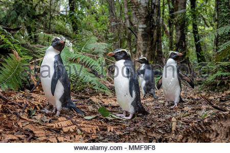 Fiordland penguins, Eudyptes pachyrhynchus, returning home to their burrows along a forest path. - Stock Photo