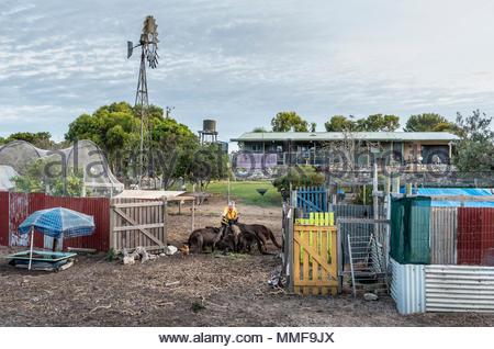 Wild Kangaroo Island Kangaroos, Macropus fuliginosus fuliginosus, gather with an animal caretaker for breakfast. - Stock Photo