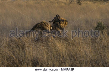 The African buffalo, Syncerus caffer, struggles in the grip of two large male lions. - Stock Photo
