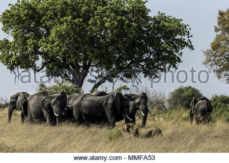 A herd of Elephant, Loxodonta africana, chase a pride of Lions, Panthera leo, away from a carcass they were feeding on. - Stock Photo
