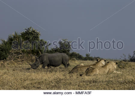 White rhinoceros, Ceratotherium simum, and Lions, Panthera leo, in Okavango Delta, Botswana. - Stock Photo