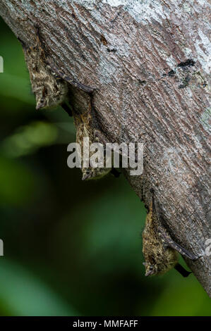 A trio of Long-nosed Bat roosting on a tree trunk overhanging an oxbow lake in the rainforest. - Stock Photo