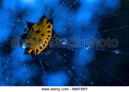 Spinybacked orbweaver spider, Gasteracantha cancriformis, on spider web with water drops. - Stock Photo