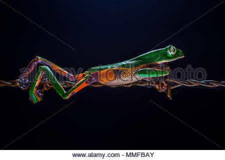 Ecuadorian Monkey Frog, Phyllomedusa ecuatoriana, walking on a barbed wire - Stock Photo