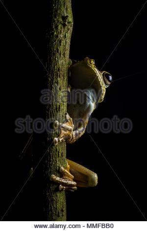 Portrait of a Rosenberg Gladiator Treefrog, Hypsiboas rosenbergi, resting on a branch. - Stock Photo
